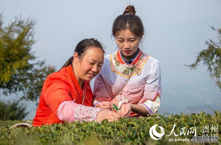 3月28日,雷凤在贵州省务川自治县分水镇分水社区爱凤茶园里采茶。